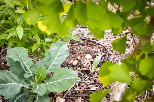 Baby artichoke alongside overwintered brassica and our ginko tree.