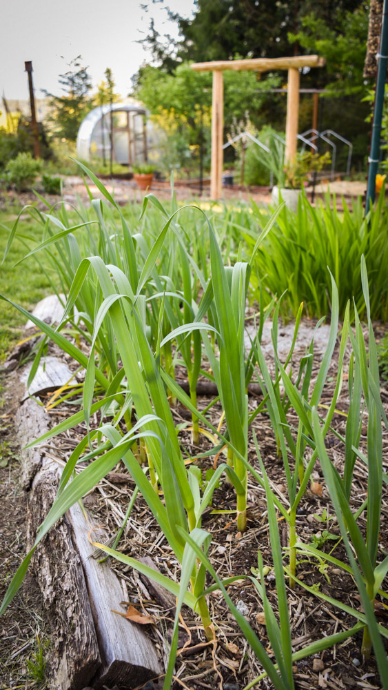May in the PNWfromScratch Garden 2016_26