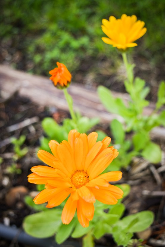 May in the PNWfromScratch Garden 2016_39