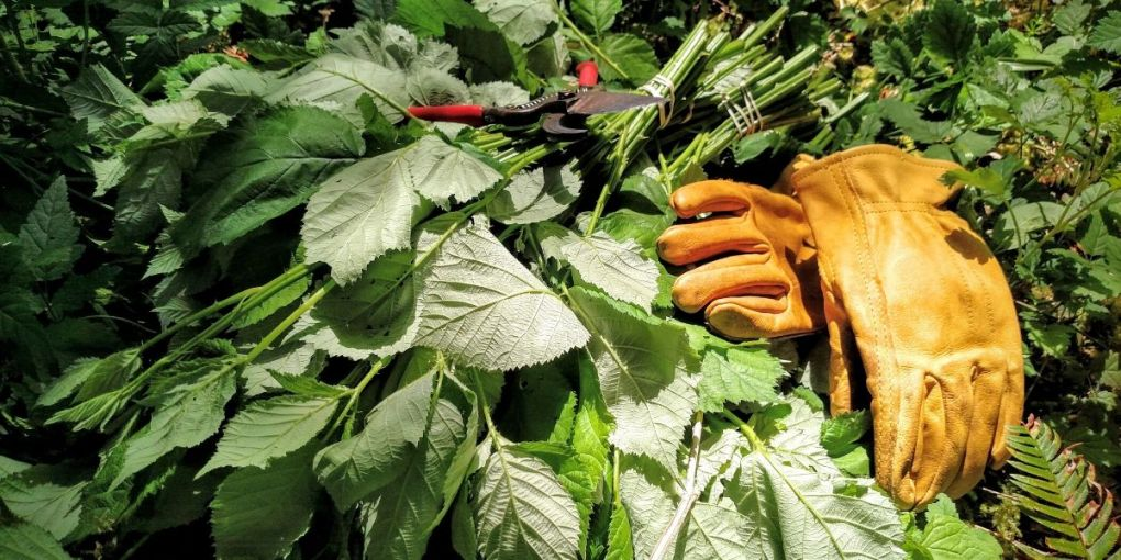 Edible and Medicinal Plants that Grow Just About Everywhere - Blackberry leaf harvesting