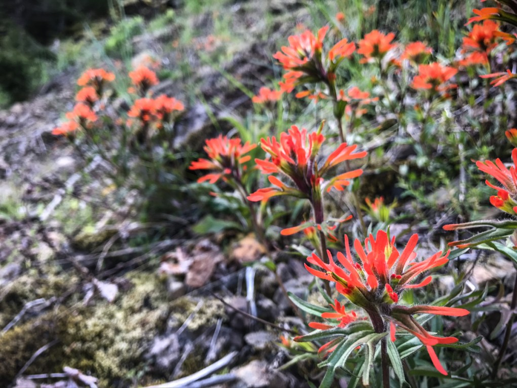 A patch of Indian Paintbrush in the PNW
