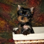 Yorkshire Terrier Puppies For Sale Teacup Yorkie Puppies