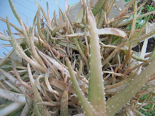 Image result for dead aloe plant