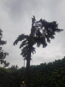 tala cedro grandes dimensiones