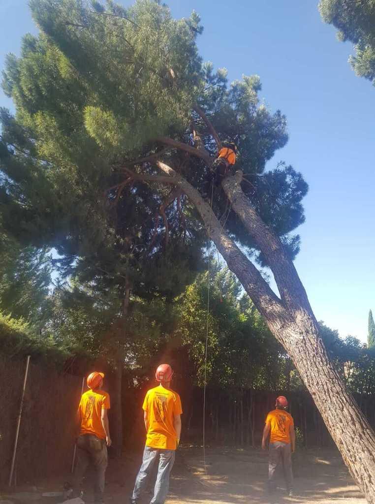 Pinus pinea tala por inclinación
