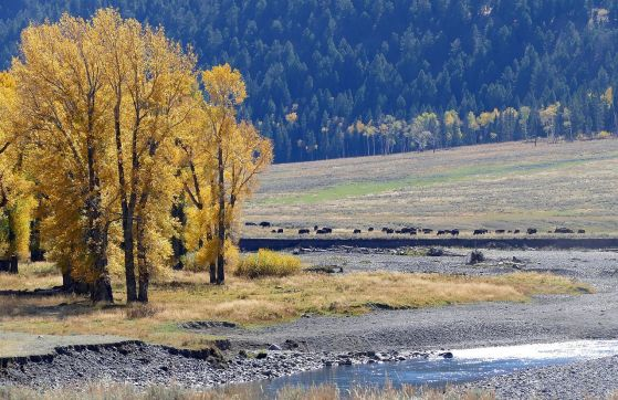Cottonwoods and Bison, Lamar River