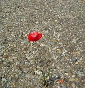 Lonely poppy - Life book