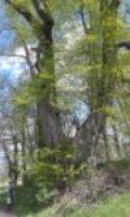 Lipa drobnolistna - pomnik przyrody