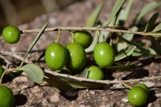 Greece Oliveoil Production