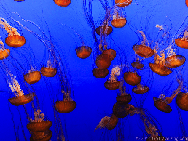Things to do in Monterey, what to do in Monterey, #Monterey #California #Aquarium #MontereyAquarium