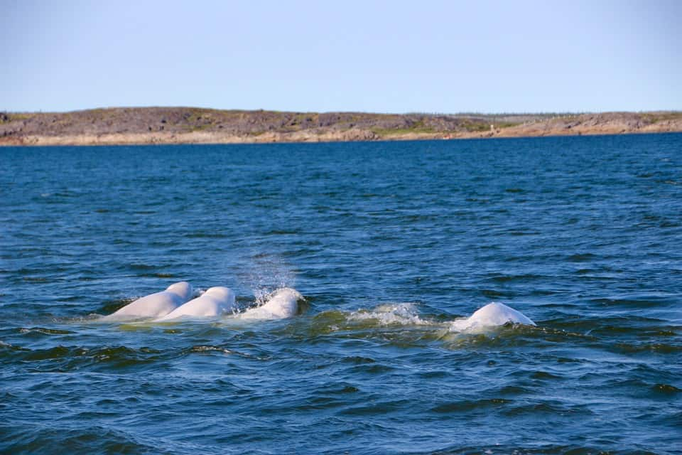 Beluga Whale and Polar Bear Safari: Churchill Manitoba, Polar Bears, Canada