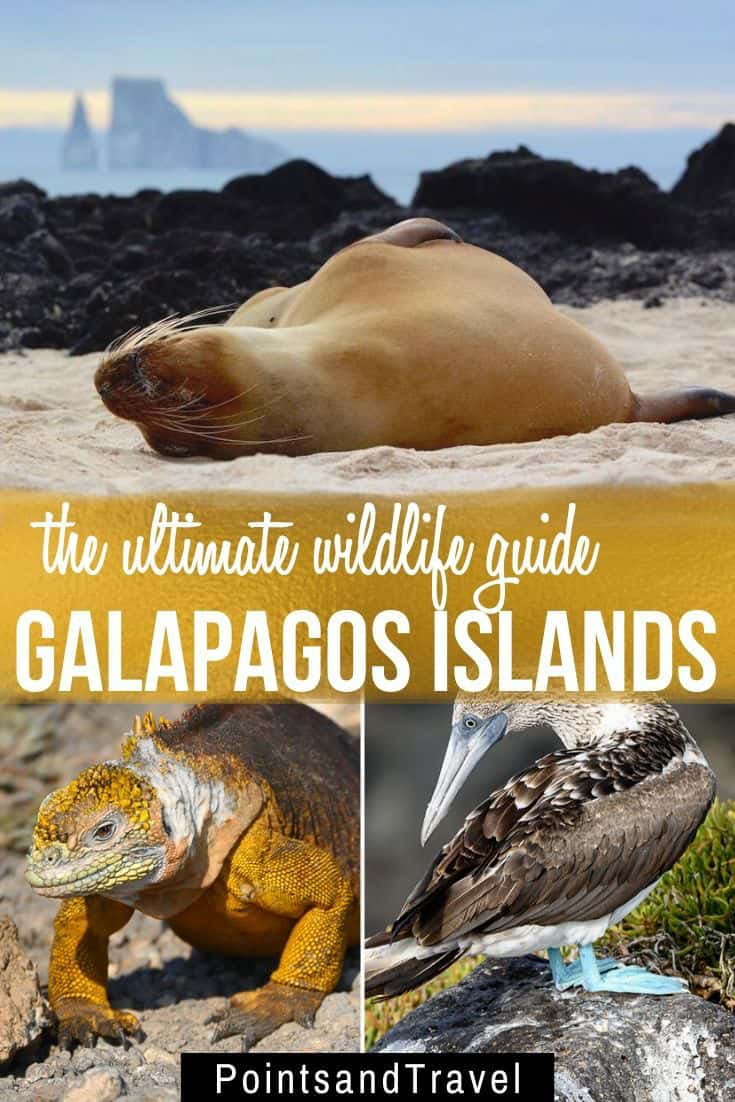 The Ultimate Galapagos Wildlife Guide. 15+ animals you will see on your Galapagos islands cruise! Galapagos Tortoise, Galapagos Penguin, Blue Footed Booby, Galapagos Sea Lion, land iguanas and more..., Galapagos | Galapagos Islands | #Galapagos cruise | Animals in the Galapagos | Galapagos wildlife