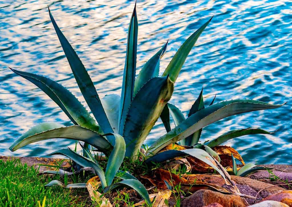 Blue agave plant, tequila plant, mexico tequila plant