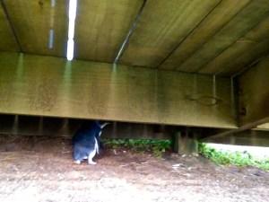 Penguin hiding under the walkway