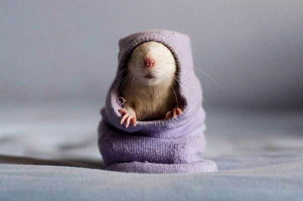 cute mouse in sock