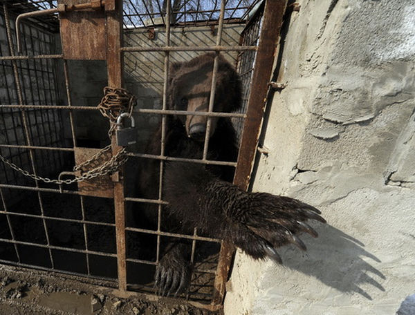 potap bear ukraine bear baiting