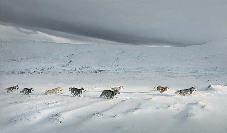 dogs in the arctic snow