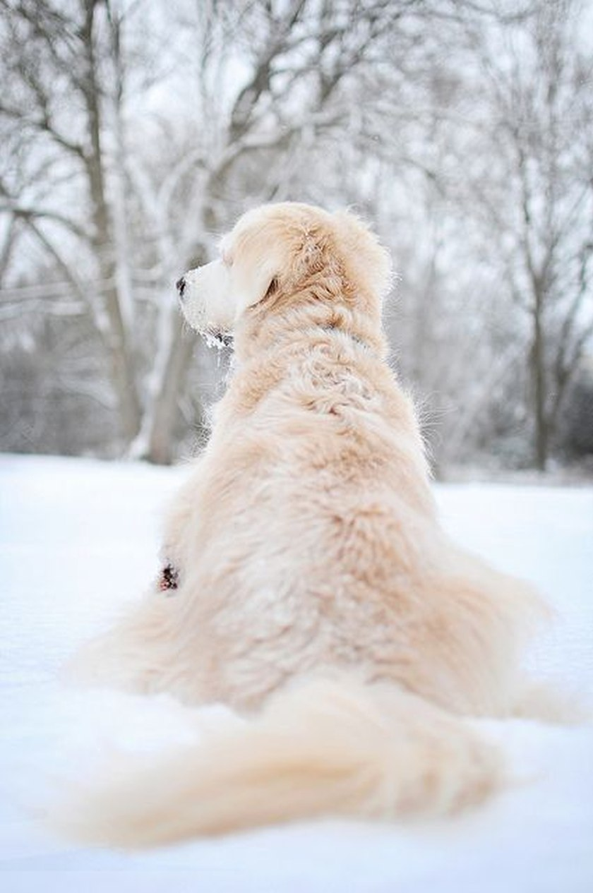 dog in snow pale blond