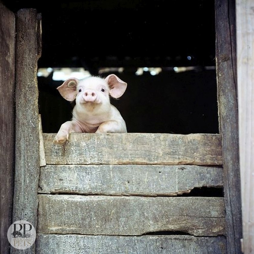 pig-at-barn-door