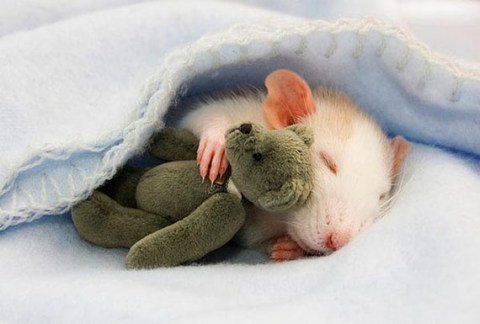 cute-rat-photo-with baby teddie bear