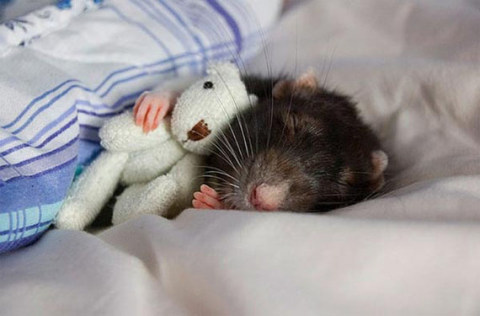 rat with teddie bear sleeping