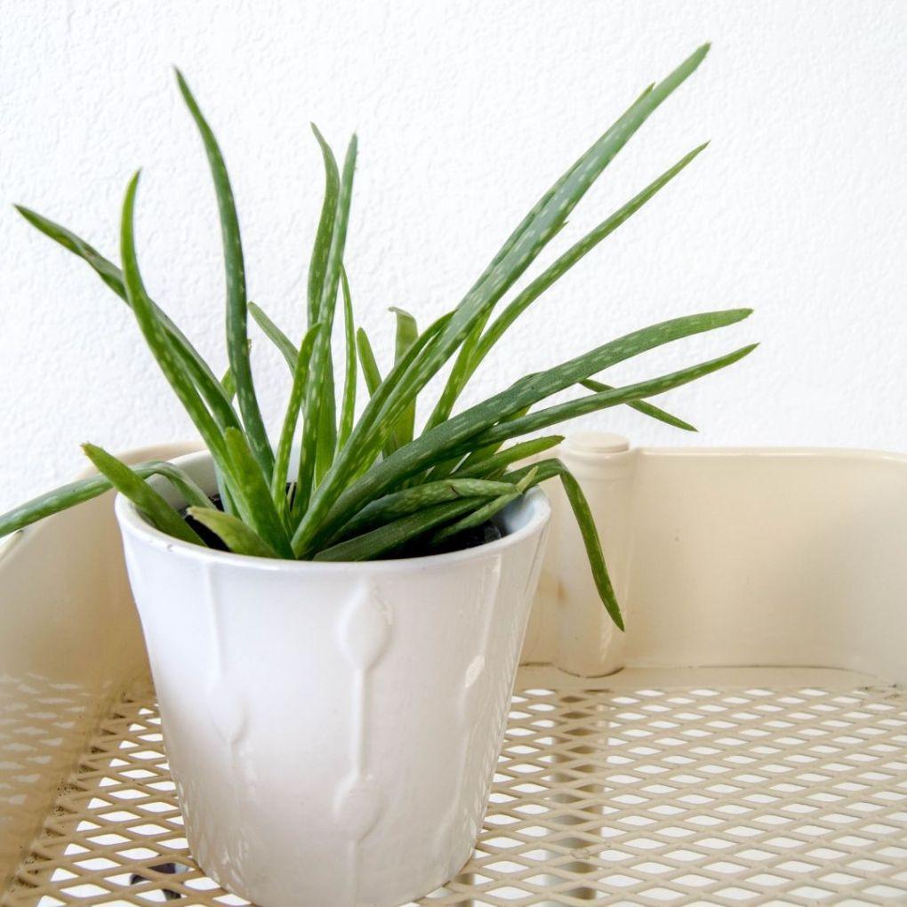 Beauté au naturel ma routine visage zero dechet aloe vera maison plante green