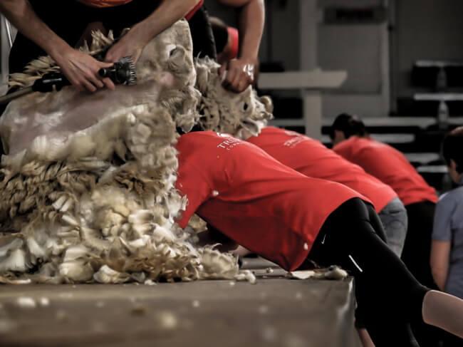 Golden Shears Festival