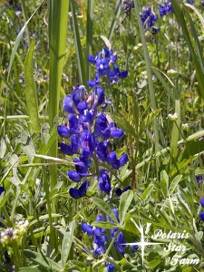 Texas Bluebonnet - state flower