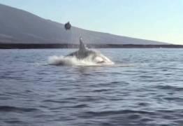Registro raro mostra orca jogando tartaruga para o alto nas Ilhas Galápagos