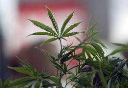 Portugal aprova o uso de maconha medicinal