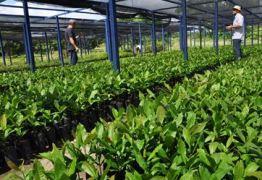 BERNARDINO BATISTA: Produção de 10 mil mudas de caju na PB gera renda a agricultores durante seca