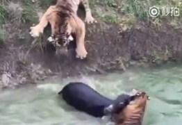 Vídeo chocante mostra burro sendo jogado aos tigres em zoológico