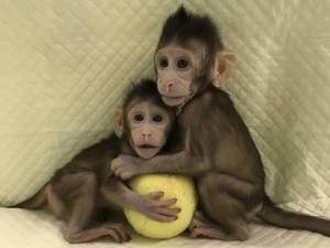 macaquinhas clonadas 300x225 - Cientistas chineses conseguem clonar primatas pela primeira vez na história