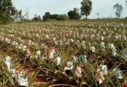 Falta de jornal velho afeta produção de abacaxis e trabalho de funerárias