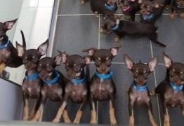 'Menor cão do mundo' tornou-se agora o 'Mais clonado': 49 cópias – VEJA VÍDEO
