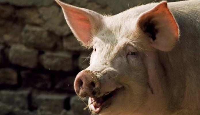 porco - Fazendeiro fica de porre, briga com seu porco, tem pênis arrancado e morre