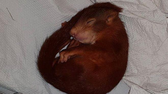 esquilo - Homem é perseguido por filhote de esquilo e chama polícia para salvá-lo