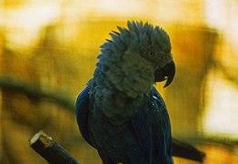 Ararinha-azul pode estar completamente extinta na natureza, aponta pesquisa