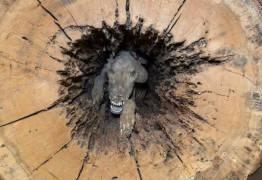 Homens cortam árvore oca no meio e dentro descobrem cão mumificado há mais de 50 anos