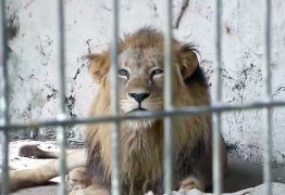 Morre aos 20 anos, Sadan, leão da Bica, após apresentar problemas renais