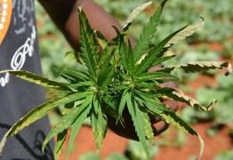À CAMINHO DA DISCRIMINALIZAÇÃO? Comissão do Senado aprova autorização para plantar cannabis para uso terapêutico