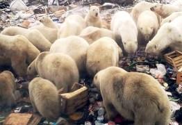 Cidade russa declara estado de emergência após invasão de 50 ursos polares – VEJA VÍDEO