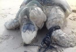 Mais de 20 tartarugas são encontradas mortas em 2019, em praias da Paraíba