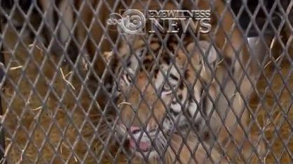 trigre 418x235 - Homem entra em casa abandonada para fumar maconha e encontra tigre