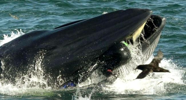 homem sobrevive apos ser parcialmente engolido por baleia - Homem sobrevive após ser parcialmente engolido por baleia - VEJA VÍDEO