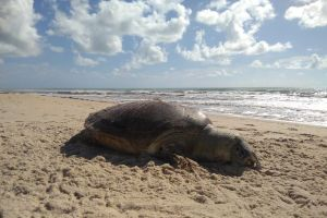 whatsapp image 2019 03 16 at 081420 300x200 - Tartaruga marinha gigante é encontrada morta em Barra de Gramame