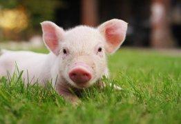 Cientistas recuperam a atividade de células cerebrais de porcos mortos
