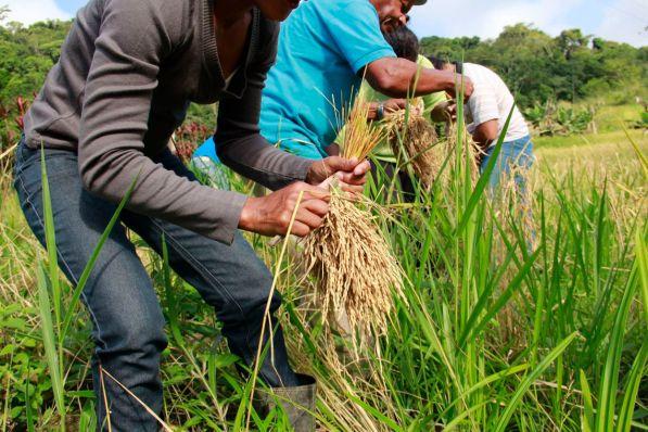 mutiraoarroz quilombomorroseco credito marilia senlle isa 300x200 - Governo comemora abertura do mercado mexicano para o arroz brasileiro