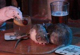 EXÓTICO: Bar permite que ratos passeiem livremente e tomem bebidas
