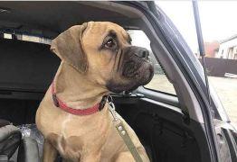Cadela tenta retornar para antigos donos e percorre 200 quilômetros